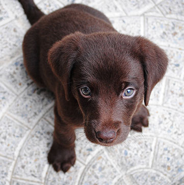 Training Tips - Chocolate Lab Puppy